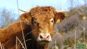 Vaca. ¿Qué es el veganismo?