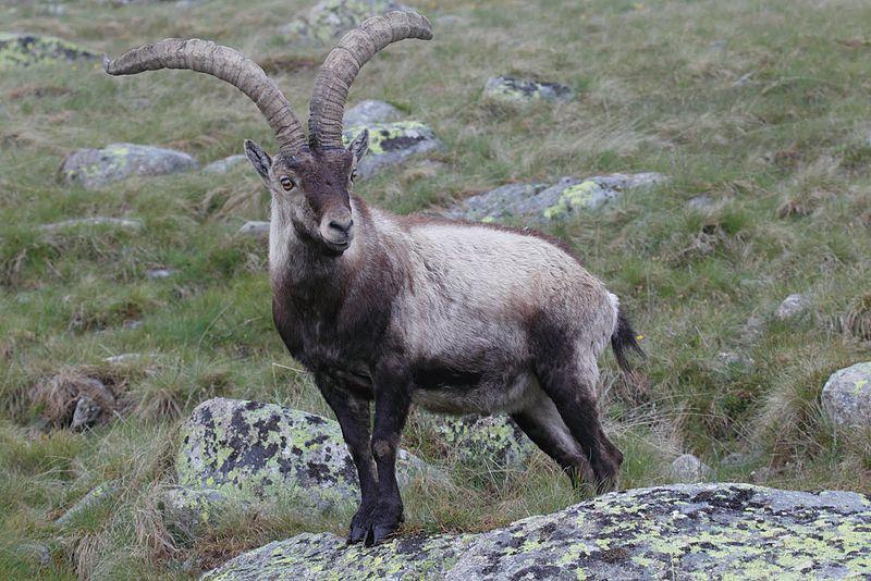 La Comunidad de Madrid quiere matar 2.500 cabras