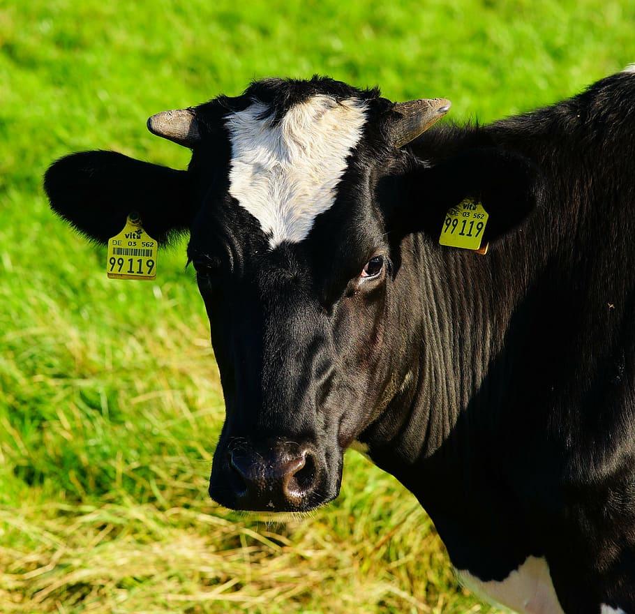cow-milk-cow-beef-pasture